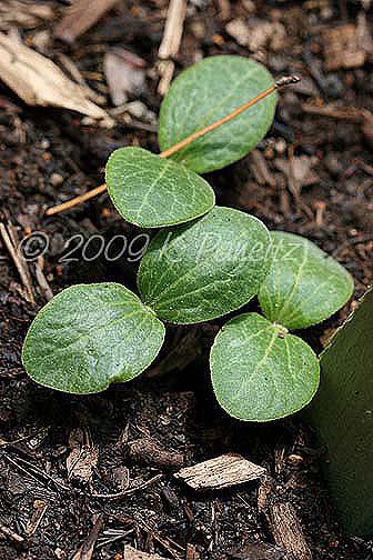 Yellow squash seedlings1