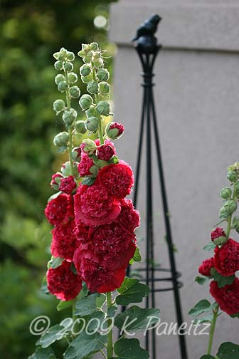 Double rose hollyhocks