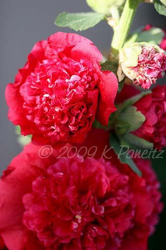 Double rose hollyhocks1