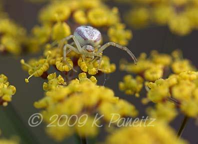 Bronze fennel with crab spider