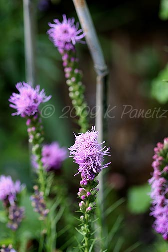 Liatris spicata1