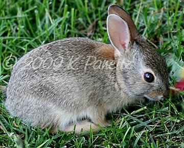 Baby Cottontail1