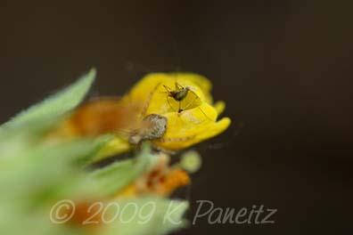 Spider on primula veris bud