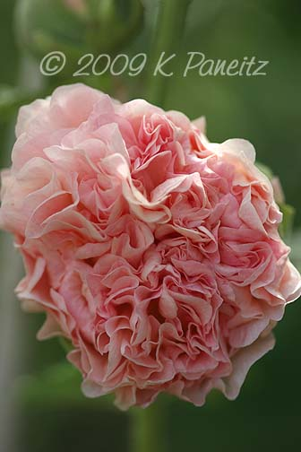 Double apricot hollyhock4