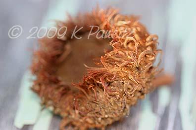 Bur Oak Acorn Cap