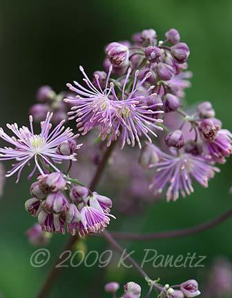 Thalictrum blooms1