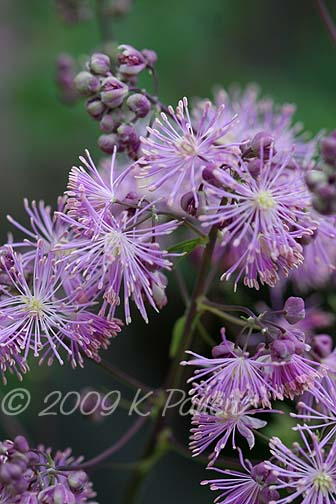 Thalictrum blooms