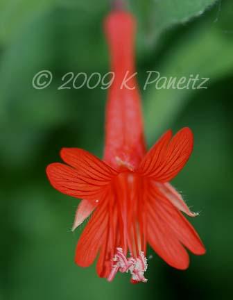 Zauschneria arizonica bloom