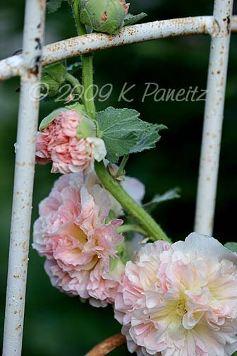 Double apricot hollyhock
