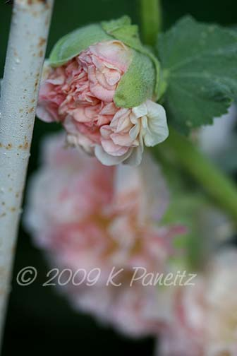 Double apricot hollyhock1