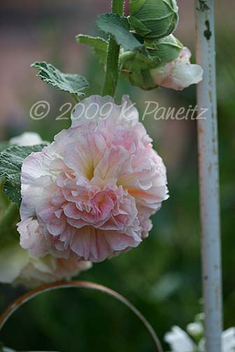 Double apricot hollyhock2