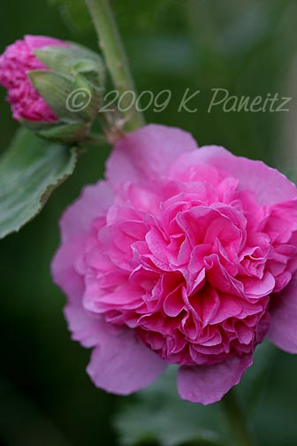 Double pink hollyhock2