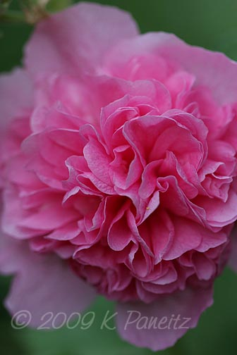 Double pink hollyhock1