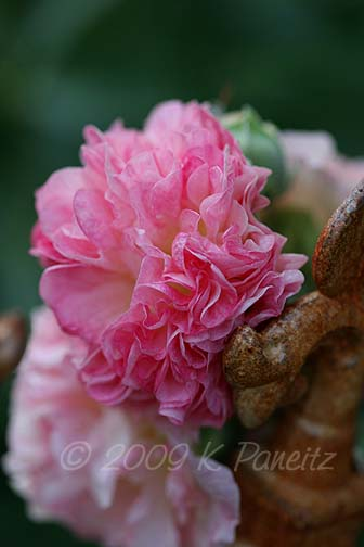 Double apricot hollyhock7