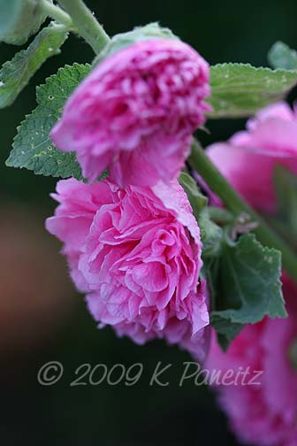 Double pink hollyhock3
