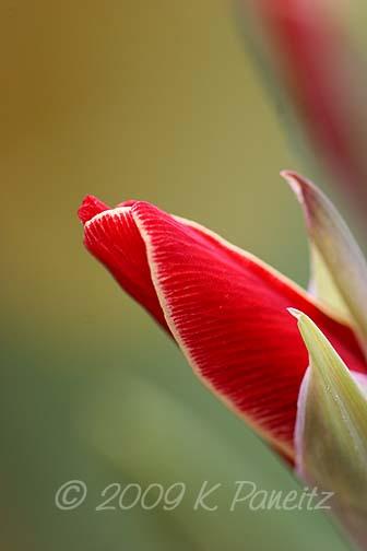 Orchid Gladiolus 'Atom'1