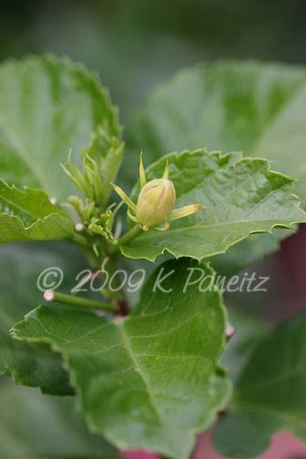 Hibiscus 'Powder Puff' Bud
