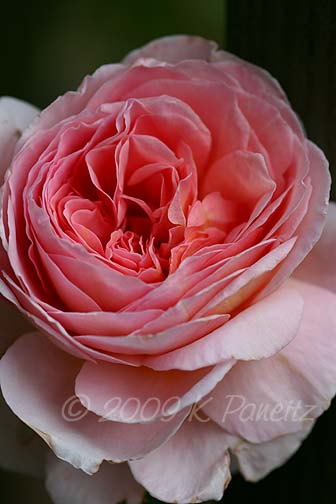 Abraham Darby Rose8