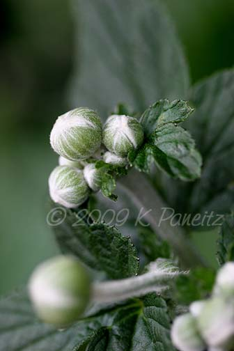 Japanese Anemone buds