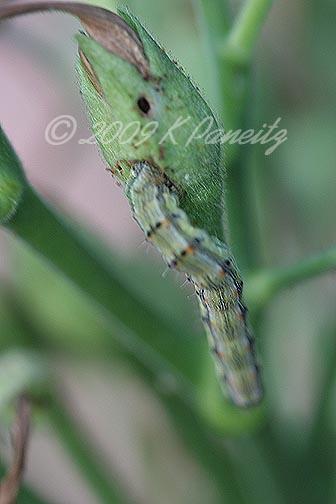 Nicotiana with caterpillars