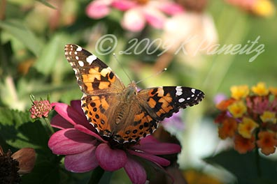 Painted Lady on Zinnia1