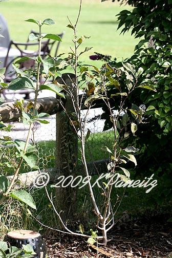 Magnolia 'Jane' Shrub