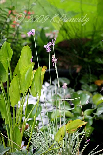 Tulbaghia Violacea in pond2