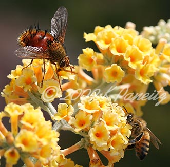 Tachinid Fly with bee
