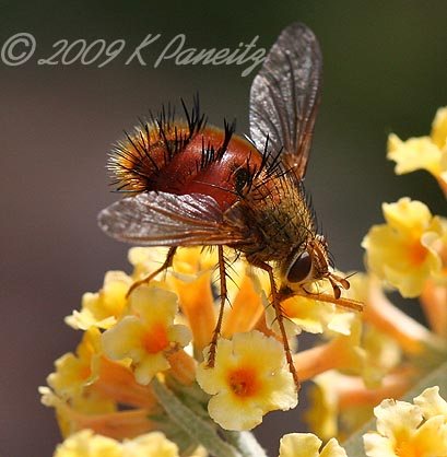 Tachinid Fly on Buddleia
