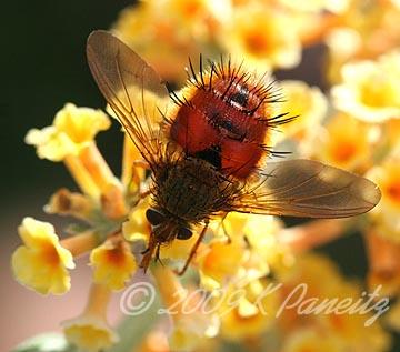 Tachinid Fly on Buddleia1