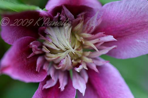 Clematis 'Josephine' Bloom1