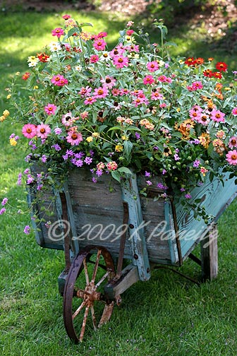 Vintage wheelbarrow zinnias9