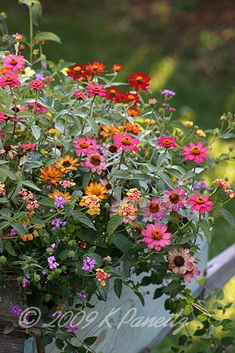 Vintage wheelbarrow zinnias8