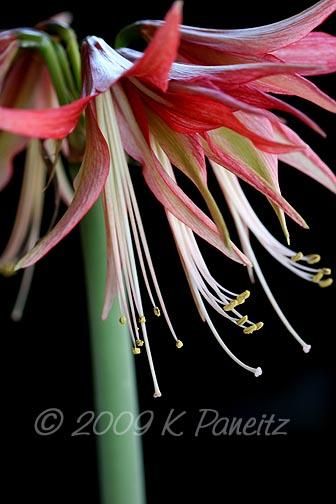 Amaryllis Sumatra Bloom3