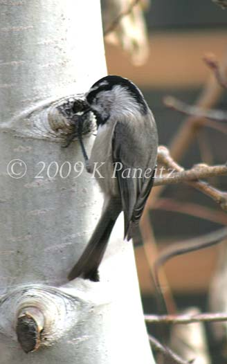 Mountain Chickadee1