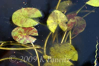 Water lily foliage1