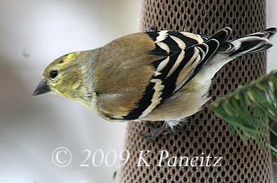 Winter Goldfinch1