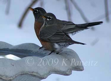 Robins on Christmas Day