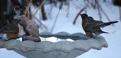 Robins on Christmas Day1