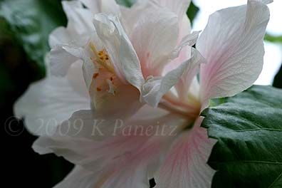Hibiscus 'Powder Puff' Bloom5