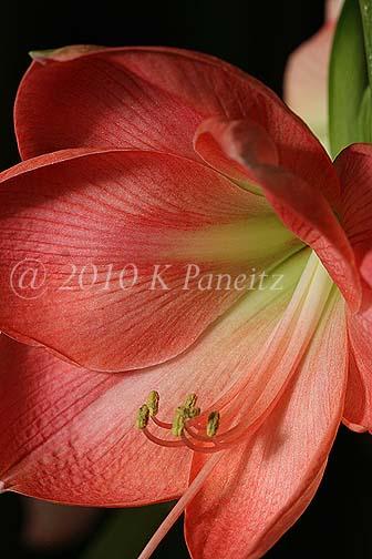 Amaryllis 'Pink Lady'