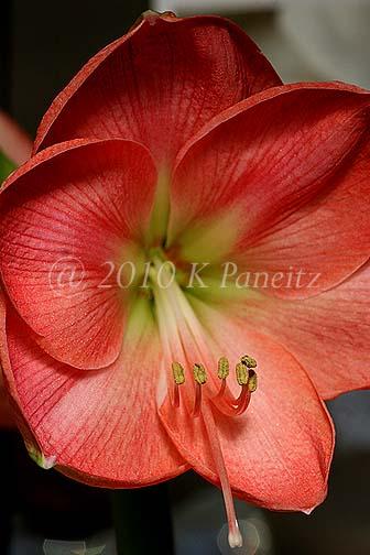 Amaryllis 'Pink Lady'2