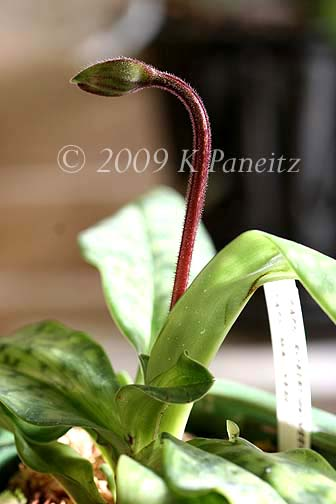 Paph Orchid Bud1