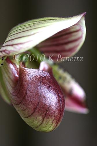 Paph Orchid Bloom1