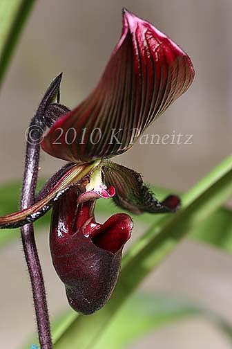 Paph Orchid 'Lasco'5