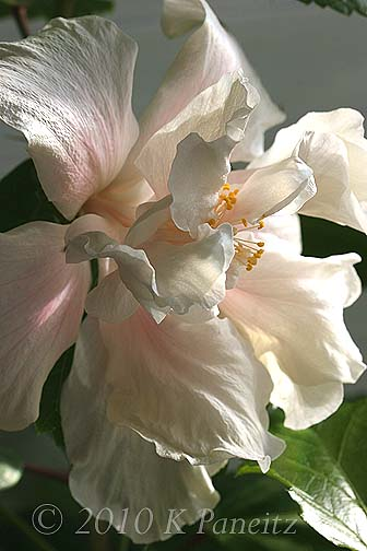 Hibiscus 'Powder Puff' Bloom7