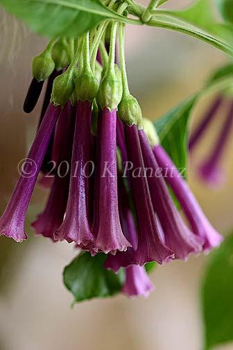 Violet Tubeflower4