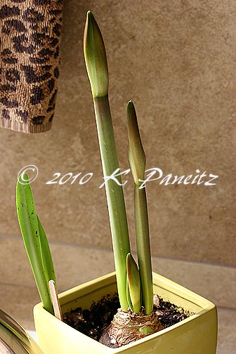 Amaryllis 'Picotee' buds