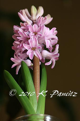 Hyacinth forcing6