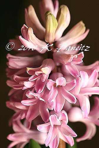 Hyacinth forcing5